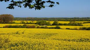 Landschaft mit blühenden Rapsfeldern